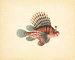 Fine Art Print of Red lionfish by John Reeves