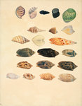 Small conch shells by John Reeves - print