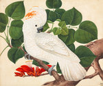 Cactua moluccensis, salmon-crested cockatoo by John Reeves - print