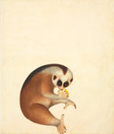 Bengal slow loris by John Reeves - print