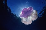 Crown jellyfish by Pete Atkinson - print