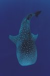 Whale shark by Jurgen Freund - print