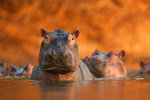 Pool of hippos by David Fettes - print