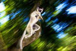 Leaping lemur by Heinrich Van Den Berg - print