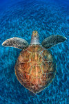 Turtle gem by Jordi Chias - print