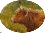 Study of a Highland Cow by Louis Bosworth Hurt - print
