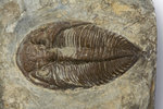 A Dalmanites Myops trilobite fossil, Silurian Period. by Unknown - print