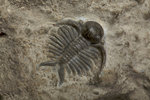 A Deiphon barrandei trilobite fossil, Silurian Period. by Unknown - print