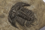 A Leonaspis coronata trilobite fossil, Silurian Period. by Unknown - print