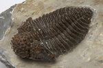 An Encrinurus variolaris trilobite fossil, Silurian Period. by Unknown - print