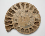 A Parkinsonia sp. ammonite fossil, Middle Jurassic Period. by Unknown - print