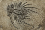 A Dicranus barbarus trilobite fossil, Silurian Period. by Unknown - print