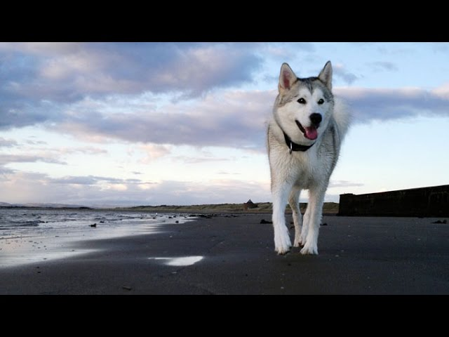 Top 10 Most Beautiful Dog Breeds In The World  – Amazing Facts
