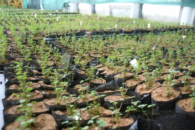 A healthy crop of Myco-loaded strawberry seedlings. (Photo: John Upton)