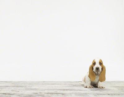Basset_hound_baby_animal_photography_prints