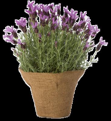 Spanish-lavender