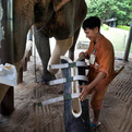 Elephant-in-thailand-gets-new-prosthetic-leg-s