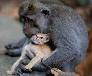 Monkey-adopts-a-kitten-in-the-forests-of-bali-indonesia-m