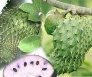 Soursop-leaves-kill-cancer-cells-m