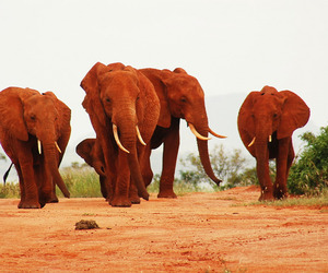 The-red-elephants-of-kenya-m