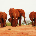 The-red-elephants-of-kenya-s