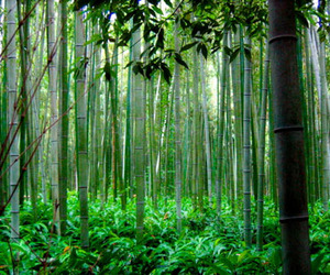 What-can-bamboo-do-about-co2-m