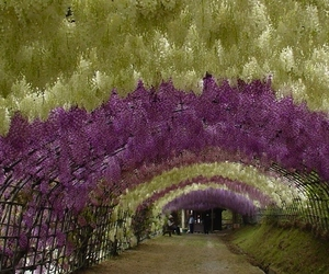 Wisteria-tunnel-at-kawachi-fuji-gardens-m