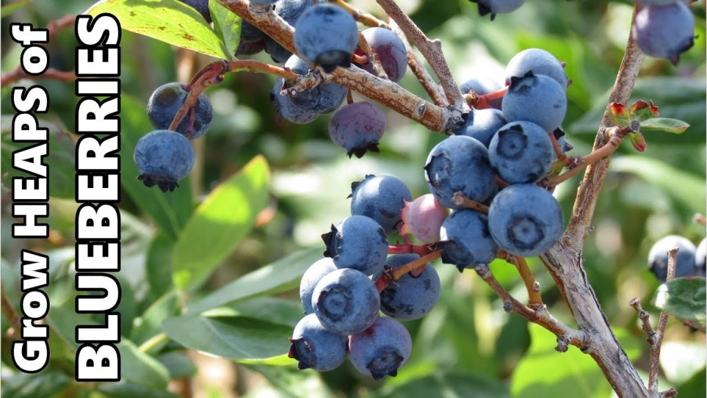 Growing Blueberries in Containers | Fertilising, Acidifying the Soil & Over Wintering