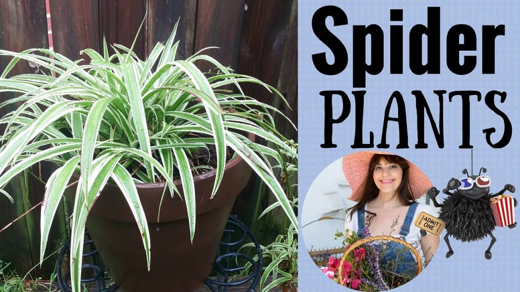 How to Propagate Spider Plants!
