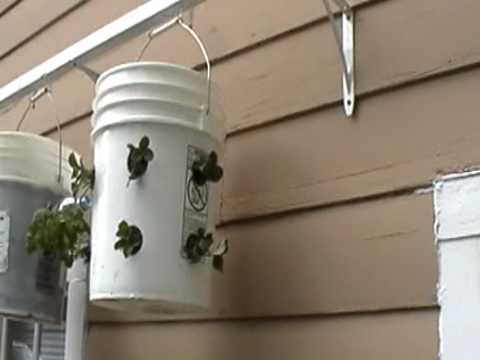 Topsy turvy copy upside down tomato rain barrel#1