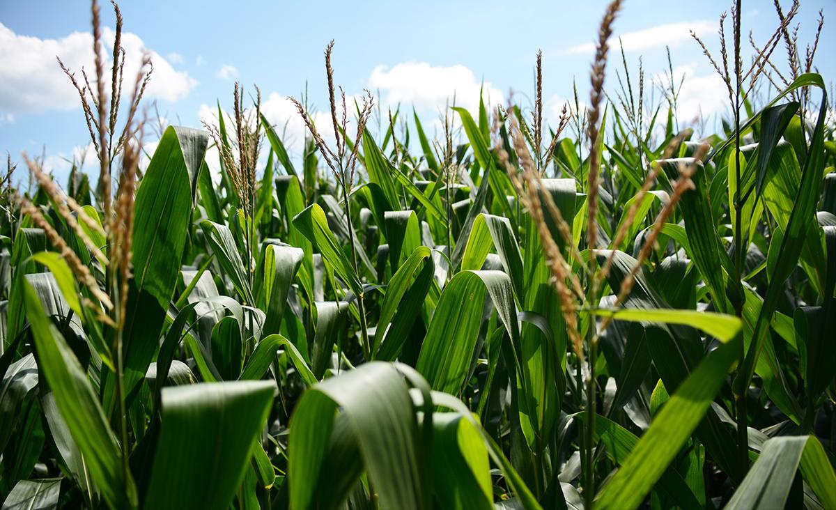 V5 corn