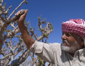 Collecting frankincense in Wadi Dawkah, Oman, in 2009. (Eric Lafforgue, Getty)