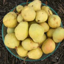 Pear Bounty, Part 1: Caramelized Pears