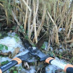 January Garden Work – Asparagus