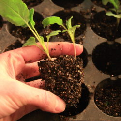 1 becomes 3: Dividing and transplanting seedlings