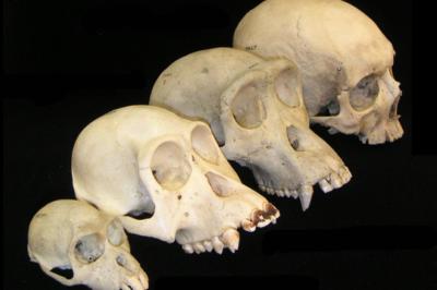 766px-Primate_skull_series_no_legend