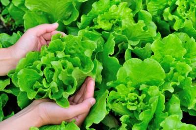 pick lettuce