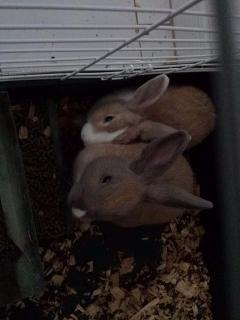 Regalo Pareja de Conejos Enanos