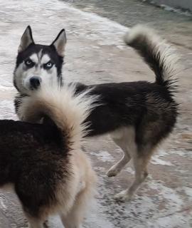Siberian Hisky