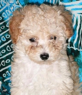 TINY TOY POODLE MACHO!