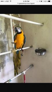 Guacamayo(blue&gold)