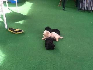 Maltipoo-Poo Puppies