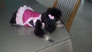 Toy Poodle AKC