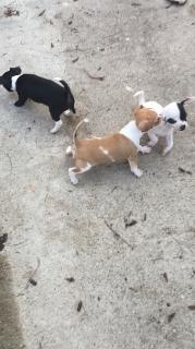 Chihuahua pocket