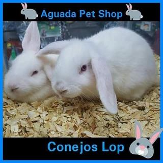 Conejos Lop para la venta