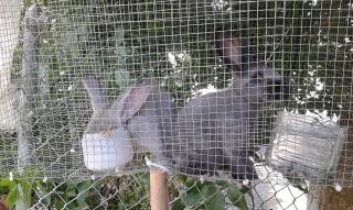 Conejos enanos y belgian