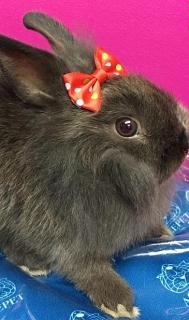 Conejos enanos para la venta