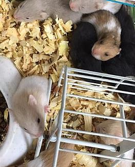 Variedad de Hamsters Para La Venta