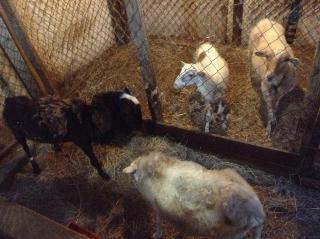 4 ovejas de cálida