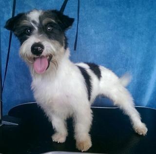 Perrito terrier pequeño, bien inteligente. cariñoso y obediente.